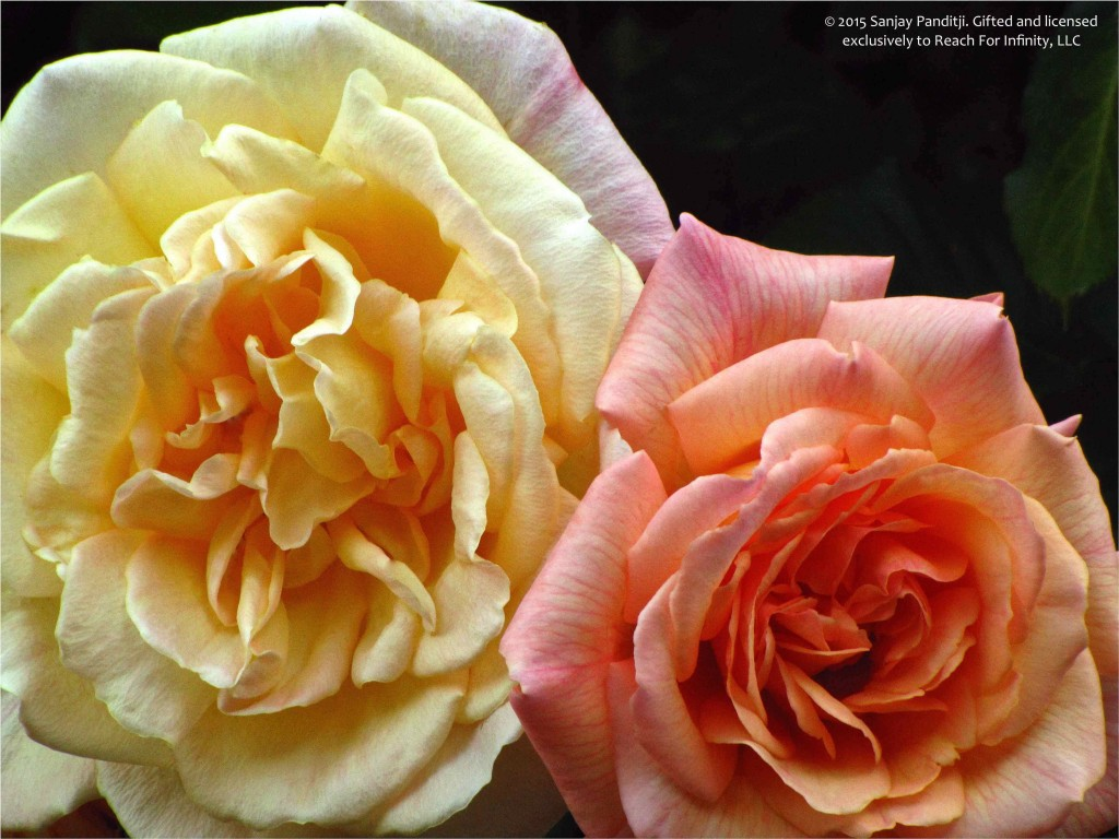 2015-11-10 Roses by Sanjay Panditji